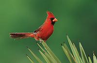 Northern Cardinal, Cardinalis cardinalis,male on Trecul Yucca (Yucca treculeana) , Starr County, Rio Grande Valley, Texas, USA, March 2002