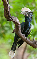 This large hornbill can often be seen in Lake Manyara National Park.