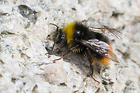 Steinhummel, Stein-Hummel, Bombus lapidarius, Pyrobombus lapidarius, Melanobombus lapidarius, Aombus lapidarius, Männchen, Drohn, Drohne, Nektarsuche, Bestäubung, red-tailed bumble bee, red-tailed bumblebee, male, le bourdon des pierres, le bourdon lapidaire, le cul-brun