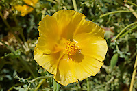 Yellow horned Poppy, Glaucium Flavium , Syros Greece