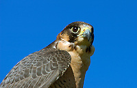 The head of a  Barbary Falcon (Falco pelegrinoides)