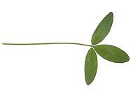 Wiesen-Klee, Wiesenklee, Rot-Klee, Rotklee, Klee, Trifolium pratense, Red Clover, le trèfle violet, le trèfle des prés. Blatt, Blätter, leaf, leaves