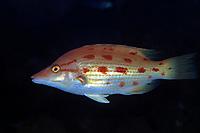 hogfish, Bodianus oxycephalus, Izu ocean park, Sagami bay, Izu peninsula, Shizuoka, Japan, Pacific Ocean