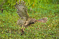 Barred Owl preying on crayfish (crawfish) in southern swamp.