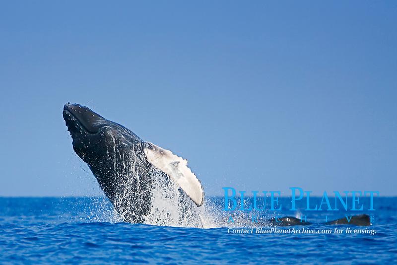 Humpback Whale calf, breaching by mother whale, Megaptera novaeangliae, Hawaii, Pacific Ocean