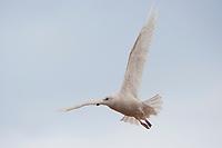 Immature, 1st winter Glaucous Gull (Larus hyperboreus) in flight. Tompkins County, New York. January.