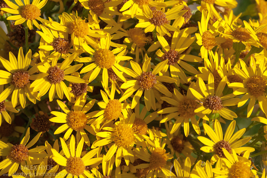 Common Ragwort {Senecio jacobaea}. This plant is poisonous to livestock but can be an important food source for a variety of invertebrates. It is a native species to the UK, but commonly quoted as being an invasive foreign species. This arrises from confusion with Oxford Ragwort {Senecio squalidus}. Derbyshire, UK. August.