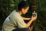 Bornean Clouded Leopard (Neofelis diardi borneensis) researcher Rizam Bakiri placing camera trap on tree trunk, Tawau Hills Park, Sabah, Borneo, Malaysia