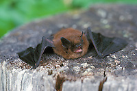 Little Brown Bat (Myotis lucifugus) lying on Tree Stump, BC, British Columbia, Canada