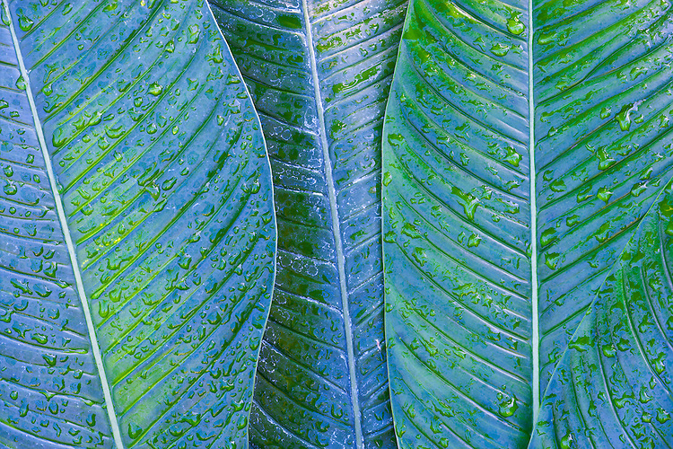 Bird's Nest Philodendron (P. araceae) leaf pattern at Garfield Park Conservatory; Chicago, IL
