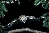 OW07-065z  Saw-whet owl - flying - Aegolius acadicus