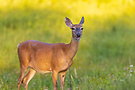 White-tailed doe standing in a northern Wisconsin meadow.