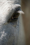 Brazoria County, Damon, Texas; a close up, detail view of a white horses eye