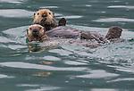 Sea otter and pup, Icy Strait, Alaska, USA