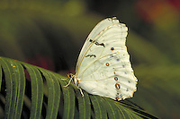 MORPHO POLYPHEMUS, White Morpho Butterfly     subfamily - Morphinae;   family - Nymphalidae; order - Lepidoptera;      class - Insecta;    phyllum - Arthropoda;     kingdom - Animalia. NEW ORLEANS LOUISIANA USA AUDUBON ZOO.