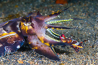 smaller male mating with a larger female Flamboyant Cuttlefish, Metasepia pfefferi, Lembeh Strait, North Sulawesi, Indonesia ,