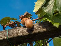 Kiwi-Anbau beim Ruster, Algund bei Meran, Region Südtirol-Bozen, Italien, Europa<br /> Kiwi cultivation at Ruster,  Lagundo near Merano, Region South Tyrol-Bolzano, Italy, Europe