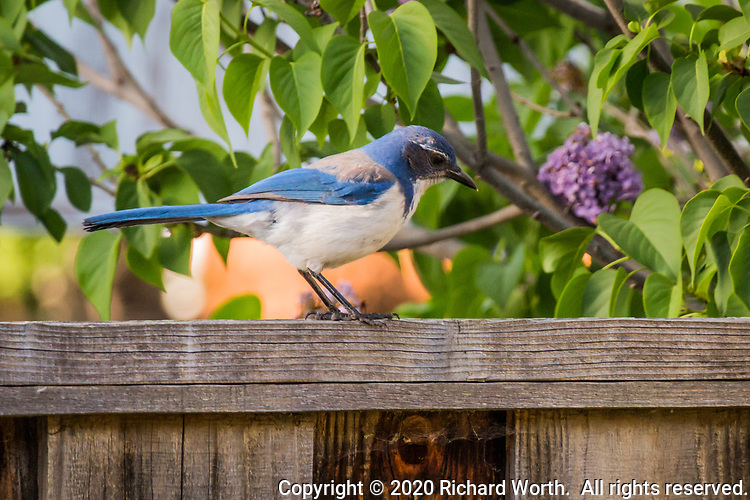 Against a lilac bush background, a California scrub jay pauses on a wooden fence to survey a neighborhood yard.