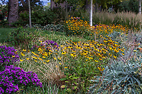 Rudbeckia fulgida var. speciosa, Showy Black-eyed Susan Coneflower<br /> in Colorado prairie garden with Deschampsia and gray foliage Achillea 'Moonshine'; Scripter garden, design Lauren Springer Ogden