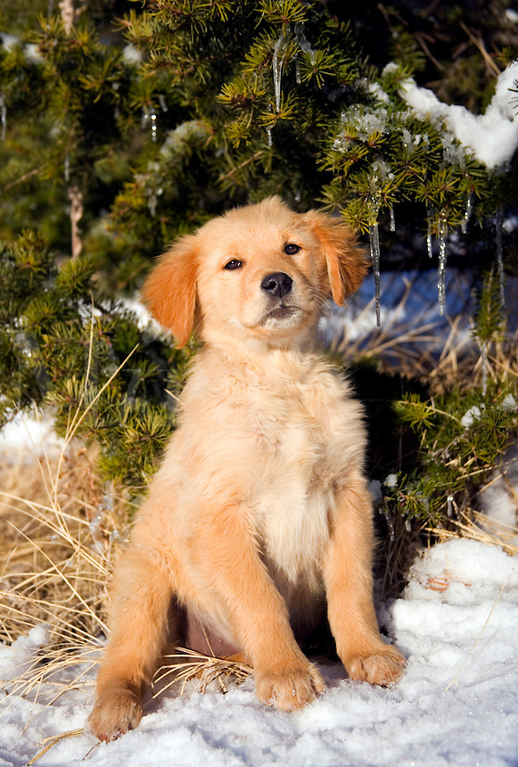 Golden retriever puppy sitting near evergreen tree with snow
