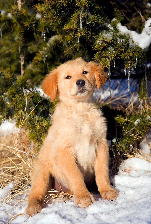 Golden retriever puppy sitting near evergreen tree with snow