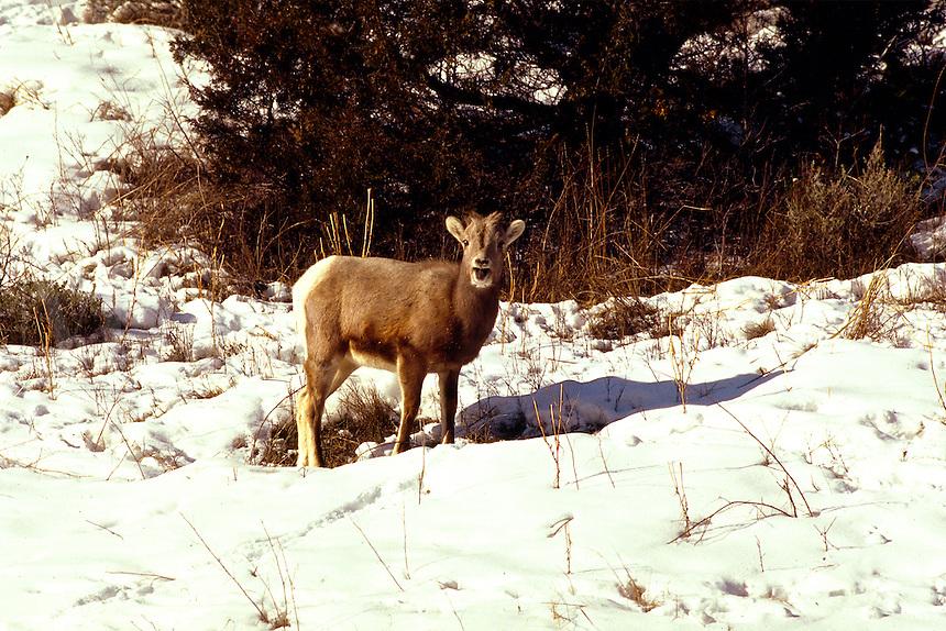Big Horn Lamb in snow, bleeting. Montana.