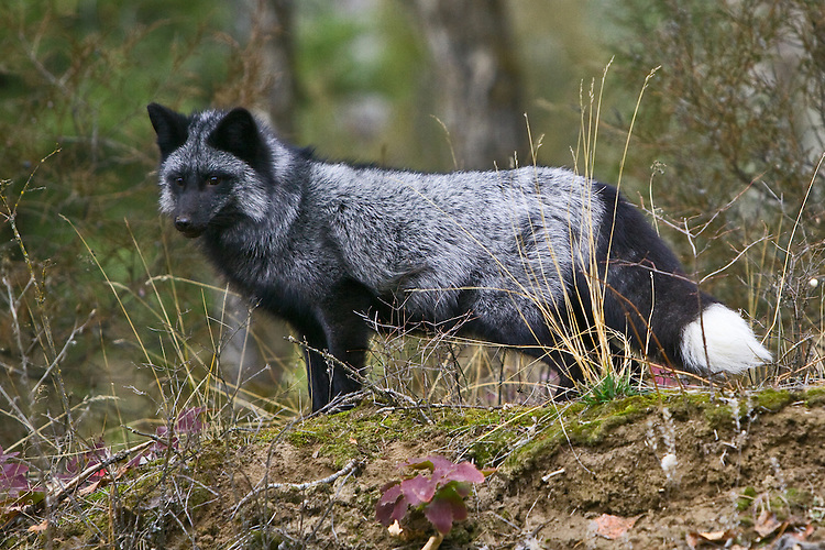Silver Fox standing watch from a small hill amongst fall colour - CA