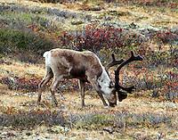 Caribou bull grazing