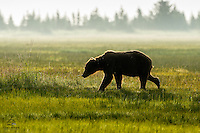 Early morning on the meadow with a large Brown Bear (Ursus arctos) boar (male).