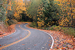 Fall carpet of Big Leaf Maple leafs covers a mountain road near Mt. Baker, Washington.  Baker Lake area along Burpee Hill Road just off Highway 20 outside North Cascades National Park.