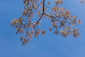 Mato Grosso, Brazil. Canarana; delicate red leaves on a tree.