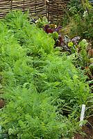 Carrots Bolero and beets vegetables growing in garden