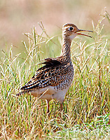 Upland sandpiper, probably a juvenile, found in a small flock of 8-10 birds, on September 6, 2013 at the Horizon Turf Farm in Burleson County.