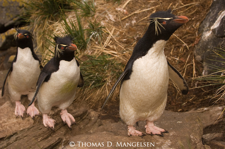 Three rockhopper penguins on West Point Island in the Falkland Islands.