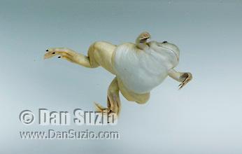 African clawed frog, Silurana sp.