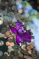A purple blossom floats over coins thrown into a wishing well at Hawaii Tropical Botanical Garden near Onomea Bay in Papa'ikou near Hilo, Big Island of Hawai'i.