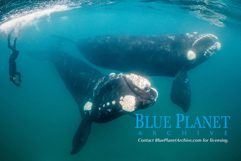 two southern right whales, Eubalaena australis, Nuevo Gulf area, Valdes Peninsula, UNESCO World Heritage Site, Argentina, South Atlantic Ocean