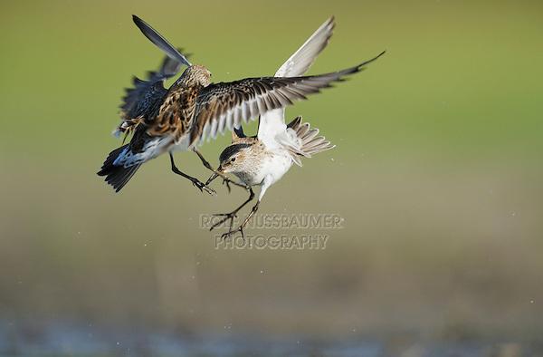 White-rumped Sandpiper (Calidris fuscicollis), adults fighting, Dinero, Lake Corpus Christi, South Texas, USA