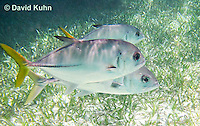 0109-1202  Small School of Horse-eye Jacks (Giant-eye Jack) Above Seagrass, in Caribbean Reef, Gamefish, Caranx latus  © David Kuhn/Dwight Kuhn Photography
