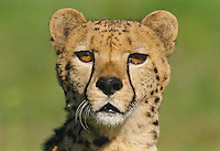 Cheetah (Acinonyx jubatus) portrait.