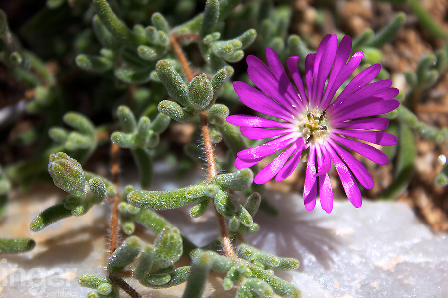 Pigface Flower at Goegap Nature and Wildflower Reserve, Namaqualand, South Africa
