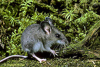 MU29-058z  Deer Mouse - immature young -  Peromyscus maniculatus