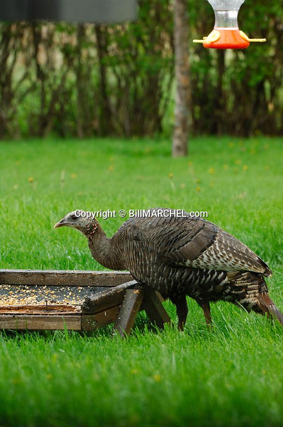 01225-088.07 Wild Turkey (DIGITAL) hen is at a bird feeder in a backyard.  Urbanization, urban, city, hunt.  V4L1