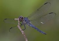 Slaty Skimmer (Libellula incesta) Dragonfly - Male, Cranberry Lake Preserve, Westchester County, New York