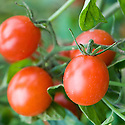 Tomato 'Koralik', mid September.