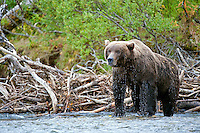 Nine year old male coastal brown bear commands his place in the salmon stream of coastal Alaska.