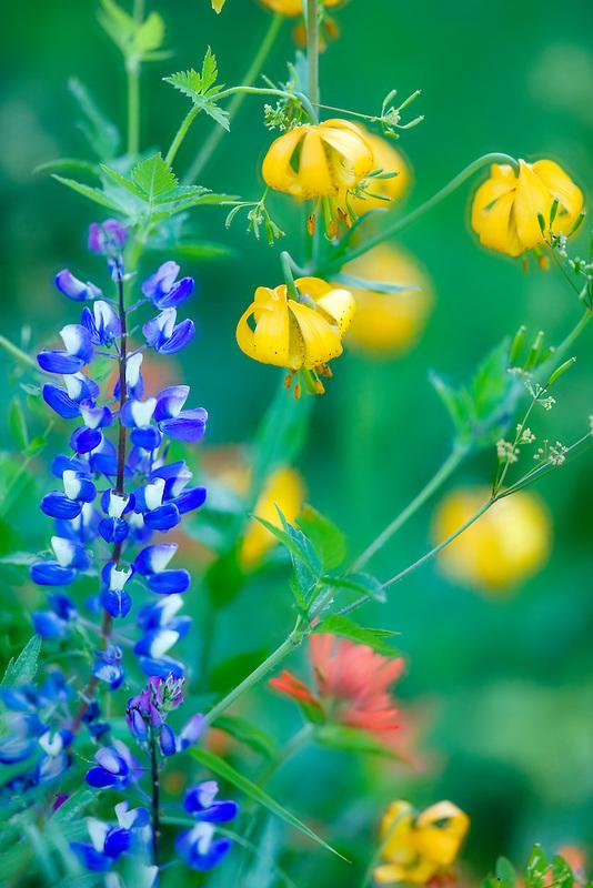Mixed wildflowers. Mostly lupine,paintbrush and tiger lily. Hurricane Ridge. Olympic National Park. Washington.