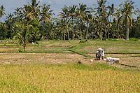 Bali, Indonesia.  Terraced Rice Fields.  Women Carrying Sacks of Rice.