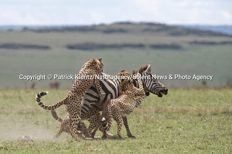 NOTE FOR ONLINE:  MAXIMUM OF 10 IMAGES TO BE USED FROM SET - UNLESS OTHERWISE AGREED.<br /> <br /> Sequence 6 of 16:  Cheetahs are forced to sit and watch hyenas eat their hard-fought kill after they arrived late and claimed it for their own.  The unlucky coalition of five cheetahs spent 30 minutes hunting and killing the zebra at the Masai Mara National Reserve, Kenya.<br /> <br /> But, just as the group of siblings were about to eat their prey, opportunistic hyenas arrived and claimed the carcass as their own. SEE OUR COPY FOR DETAILS.<br /> <br /> Please byline: Patrick Kientz/Naturagency/Solent News<br /> <br /> © Patrick Kientz/Naturagency/Solent News & Photo Agency<br /> UK +44 (0) 2380 458800