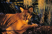 FLORIDA PANTHER in Spanish moss & oak..Endangered Species. Florida..(Felis concolor coryi).